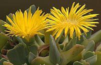 Cheiridopsis caroli-schmidtii flower