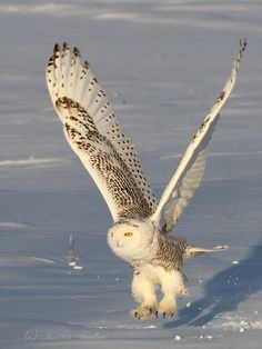 The Snowy Owl takes flight from a snow covered field near Bangor, Maine recently.