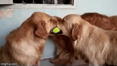So for some cosmic reason, this week has been dominated by pictures and videos of golden retrievers doing amazing things.