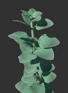 Modelo de planta feita com folhas de boldo