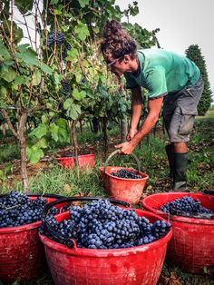 """The Harvesting Liberty, We are much more than a surfer–we dabbles in a lot of things, including farming. Heres a glimpse captured during 2012 harvest in our Tuscan vineyard. The scene was filmed by filmmaker Jason Baffa on his latest movie """"BELLA VITA"""". To learn more about our 100% organic wine http://www.ziobaffa.com/our-wine/ #organicwine #winelovers #wines #winery #love #nature"""