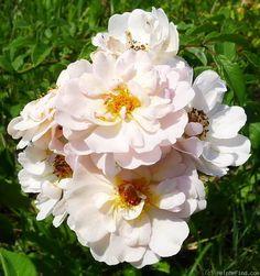 'Aebleblomst' Rose Photo