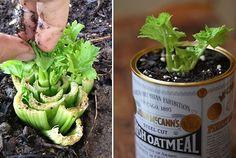 Ne jetez plus la base de votre céleri! Placez-le dans un verre avec un peu d'eau. Au bout d'une semaine, des feuilles commenceront à apparaître. Vous pouvez ensuite le planter en terre dans la maison ou dehors. Même principe pour la salade.