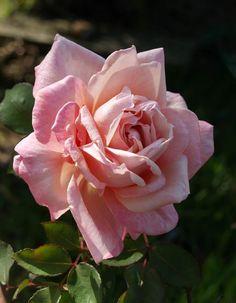 Tea Rose: Rosa 'Bridesmaid' (sport of Catherine Mermet discovered in U.S., 1892)