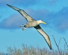 Albatross in flight. Did you know that this species is under threat or extinction?!