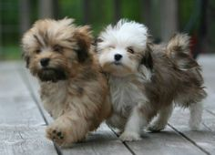 Havanese - dogs that don't shed and are cute!
