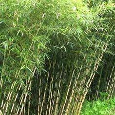 Le Fargesia robusta Campbell : un superbe bambou NON TRACANT polyvalent      LeBambou Fargesia robusta Campbellpossède leLabel Leaderplant. C'est une excellente variété de bambou non traçant très appréciée par les paysagistes. LeFargesia robusta Campbellpermet den effet de faire de belles haies brise-vue, brise-vent, aussi bien en exposition ombragée qu'ensoleillée. Il a un port dressé et peut atteindre 3 ou 4m de haut.