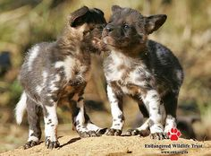 African wild dog pups | Small step for Namibia, huge leap for the African Wild Dog