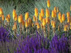 Kniphofia and Salvia  at Hyde Hall Garden. Photo by Mark Broughton of Green Pastures