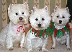 With Westies - Yahoo Image Search Results