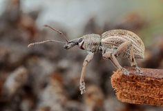 Weevil. ( FISHNROBO, via Flickr)