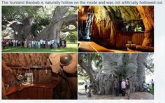 Dump A Day A 6000 Year Old Tree Has A Surprise Inside - 8 Pics