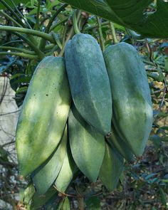 The fruit of Babaco (Carica pentogana) is about 6-15cm long, green maturing yellow to orange. The fruit pulp is edible, similar to common papaya and usually cooked as vegetable, though can be eaten raw