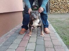 American Bully Trikolor & Blue spp ABKC - 1