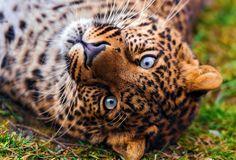 panthera pardus, Леопард, смотрит, leopard, морда, красивый, лежит