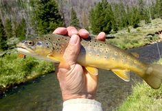 """91 Likes, 1 Comments - John Rimlinger (@wy.trout) on Instagram: """"#flyfishing #browntrout #troutstream #wyoming"""""""