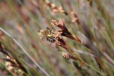 Restios Biology, Dandelion, Insects, Flowers, Plants, Dandelions, Plant, Taraxacum Officinale, Royal Icing Flowers
