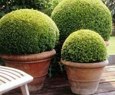 Perfectly potted boxwoods, how haven't I thought of this!