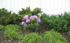Microbiota_og_Rhododendron__1_.JPG
