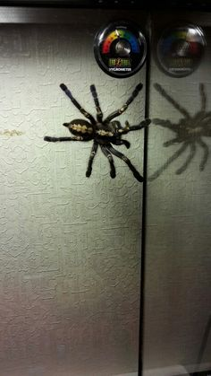 . Poecilotheria Metallica, Scorpion, Spider, Insects, Spiders, Scorpio
