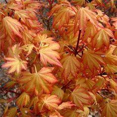 Acer Palmatum Orange Dream Tree (have one) Patio Trees, Garden Trees, Trees And Shrubs, Garden Plants, Shade Garden, Acer Palmatum, Japanese Maple Varieties, Acer Trees, White Oak Tree