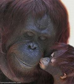 Sumatran Orangutans are on the Red List of the world's top endangered species. Deforestation of these biodiversity hot spots have to stop or we risk losing awesome animals.