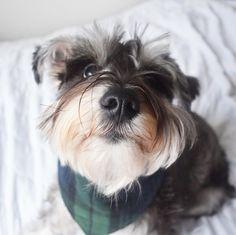 "178 Likes, 22 Comments - @dukeschnauzer on Instagram: ""Please boop here!  #nationaldogday #nationalpuppyday #boop #tbt #dogsofig #dogsofinsta…"""