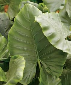 Alocasia xanthosoma Lime Zinger | Peace Tree Farm