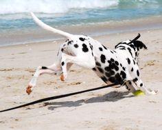 Playful Dalmatian Beach Keekoh Caza
