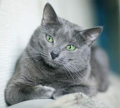 Any Russian Blue cat owner would be surprised to find out that, popular as this breed currently is, its origins are quite foggy. In fact, it might not even originate from Russia or even somewhere near.  But the same owners would just shrug their shoulders in boredom right after finding this out. This breed is truly special, deserving all the love and affection, offering the same back.