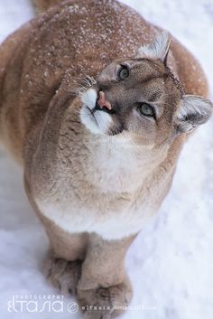 Mountain Lion - Look at those paws!  Their hind paws step into the tracks left by their front paws, leaving only 2 paw prints instead of 4, they can sprint at up to 50 miles per hour and can leap 15 feet, straight up onto a branch.