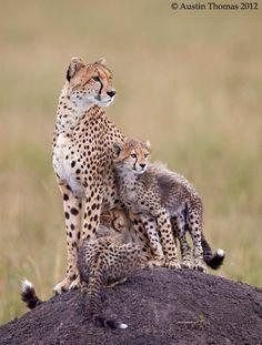Cheetah mum and cubs... by Austin Thomas, via 500px