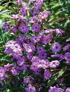 Phlox paniculata 'Uspekh'
