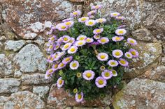 Seaside Daisy burns in hot sun should put in part shade(Erigeron Glaucus) Growing On A Stone Wall Stock ...