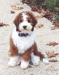 Alpine Bernedoodles is owned by two veterinary technicians. We strive to bring you the healthiest Bernedoodle puppies possible. Our goal is to make sure you're getting a healthy and happy new puppy. Cute Puppies And Kittens, Cute Dogs, Dogs And Puppies, Sheepadoodle Puppy, Cavachon, Fluffy Animals, Animals And Pets, Cute Animals, Baby Animals