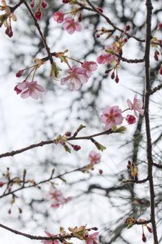 桜 - sakura #garden