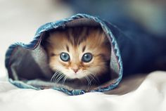 Adorable blue eyes kitty in jeans... click on picture to see more