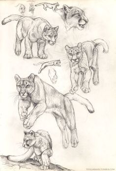 Exciting Learn To Draw Animals Ideas. Exquisite Learn To Draw Animals Ideas. Animal Sketches, Art Drawings Sketches, Animal Drawings, Cat Anatomy, Anatomy Drawing, Animal Anatomy, Pumas Animal, Lion Sketch, Lion Drawing