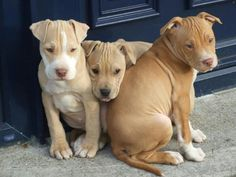 Pit Bull puppies!!! So cute and clumsy!