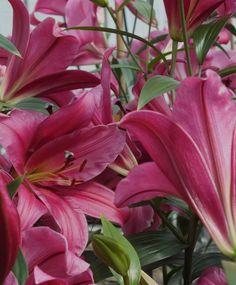 Orienpet Lily Purple Prince - Orienpet - Hardy Lilies - Fall 2013 Flower Bulbs