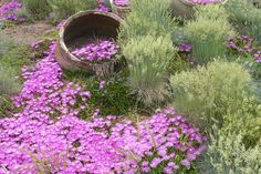 Ice plants, native to South Africa, have become popular in Western gardens, as they sparkle, shine, shimmer, and tumble over rocks.