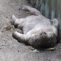 Wombat having a little nap!
