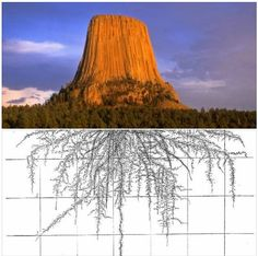 They are NOT roots! They are ancient seismic channels from volcanic activity. Ancient Mysteries, Ancient Artifacts, Ancient Aliens, Ancient History, Terre Plate, Flat Earth Proof, Giant Tree, Unique Trees, Old Trees