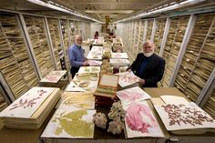 The Botany Department Herbarium at the Smithsonian Institution's National Museum of Natural History, displaying algae specimens, including coraline algae, wet s