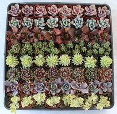 Amazon.com: 64 Beautiful ROSETTE ONLY Succulents: Wedding Collection Party/Shower Favors: Health & Personal Care $116.00 ($18.13 / 10 Items) + $13.99 shipping