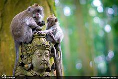 Sangeh Monkey Forest :: Bali
