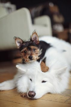 Puppy on white dogs head