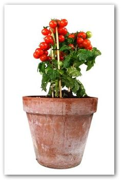 Growing Tomatoes in Containers.  The idea of a portable, movable,and convenient vegetable garden entices many gardeners when the possibility of growing tomatoes in containers is considered. Container gardens are the perfect solution for may gardeners.  A sunny location on a porch, deck, balcony or patio can be turned into a small but productive vegetable garden.  More great info on website.