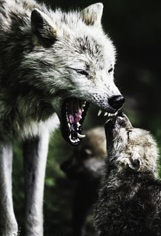 "Wolf and cub: MOM:What they're saying, ""I TOLD you not to wander off by yourself! You almost scared me to death!   CUB: Awww Mom."