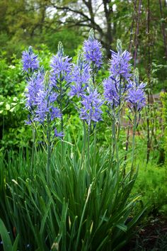 camassia leichtlinii caerulea bridges the gap between tulips and daffodils and the late bloomers like alliums (late April 2013)